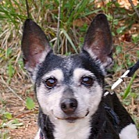 Rat Terrier Dog for adoption in Atlanta, Georgia - Perrito (GA)