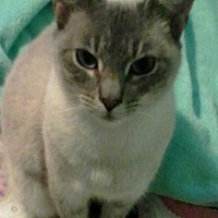 Adopt A Pet :: Angie - Eureka, CA