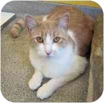 Domestic Shorthair Cat for adoption in Marietta, Georgia - Provolone