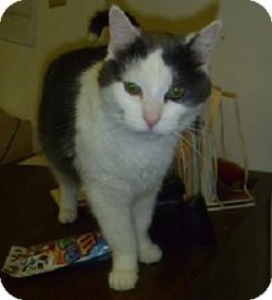Domestic Shorthair Cat for adoption in Hamburg, New York - Eclair