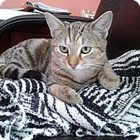 Adopt A Pet :: Male kitten - Chesterfield, VA