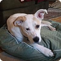 Adopt A Pet :: Bella - Rochester/Buffalo, NY