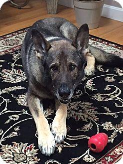 Shepherd (Unknown Type) Mix Dog for adoption in Acushnet, Massachusetts - Thunder
