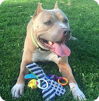 American Staffordshire Terrier/American Bulldog Mix Dog for adoption in San Francisco, California - Ziggy