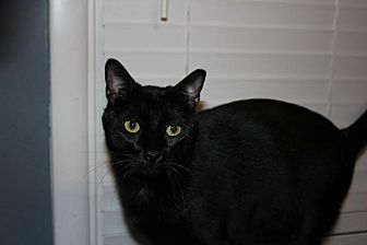 Domestic Shorthair Cat for adoption in Flower Mound, Texas - Lincoln