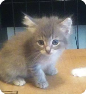 Domestic Shorthair Kitten for adoption in Savannah, Georgia - Storm