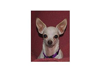 Chihuahua Mix Dog for adoption in Houston, Texas - Leche