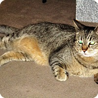 Domestic Shorthair Cat for adoption in Palm Springs, California - Bello