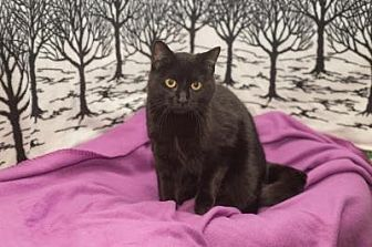 Domestic Shorthair Cat for adoption in South Haven, Michigan - Blackie