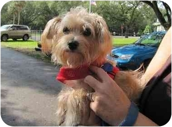 Yorkie, Yorkshire Terrier/Maltese Mix Puppy for adoption in West Palm Beach, Florida - Bradley