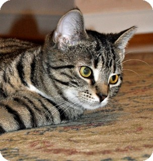Domestic Shorthair Cat for adoption in Richmond, Virginia - Charlie