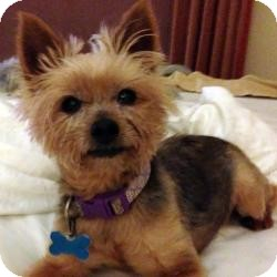 Yorkie, Yorkshire Terrier Dog for adoption in Beechgrove, Tennessee - Cappy