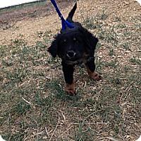 Adopt A Pet :: Lazy Bear - Westminster, CO