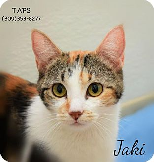 Calico Cat for adoption in Pekin, Illinois - Jaki