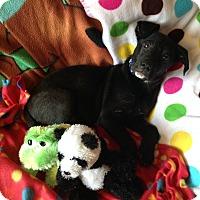 Adopt A Pet :: Lahm - Marietta, GA