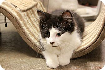 Domestic Shorthair Kitten for adoption in New Richmond,, Wisconsin - Alfie