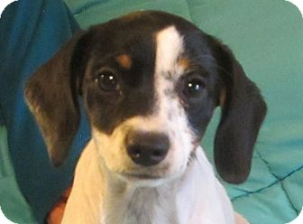 Beagle/Terrier (Unknown Type, Small) Mix Puppy for adoption in Foster, Rhode Island - Twinkie