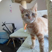 Domestic Mediumhair Kitten for adoption in Montello, Wisconsin - Connor