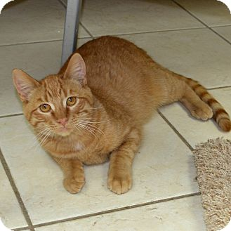 Domestic Shorthair Cat for adoption in Wheaton, Illinois - Little Rascal
