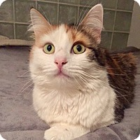 Calico Cat for adoption in Long Beach, New York - Bijoux