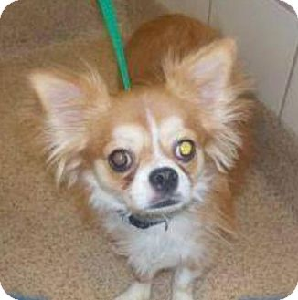 Chihuahua Mix Dog for adoption in Providence, Rhode Island - Hank CJ in AR