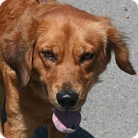 Adopt A Pet :: Goldie - Beebe, AR