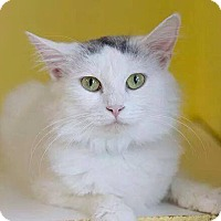 Adopt A Pet :: Ivory - Lancaster, MA