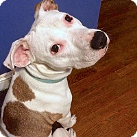Adopt A Pet :: Flannel - Reisterstown, MD