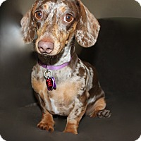 Adopt A Pet :: Camie - Louisville, CO