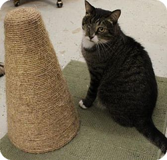 Domestic Shorthair Cat for adoption in West Des Moines, Iowa - Singer