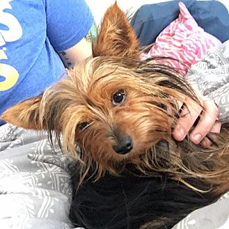 Yorkie, Yorkshire Terrier Dog for adoption in Fairview Heights, Illinois - Meia