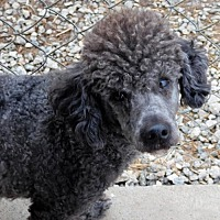 Poodle (Miniature) Mix Dog for adoption in Spartanburg, South Carolina - Lollipup Jack