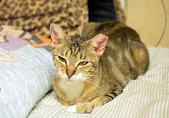 Domestic Shorthair Cat for adoption in Queens, New York - Tiger Lily