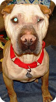Shar Pei Mix Dog for adoption in Kalamazoo, Michigan - Justice