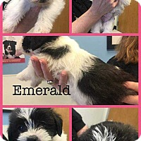 Adopt A Pet :: Esmerald - Allen, TX