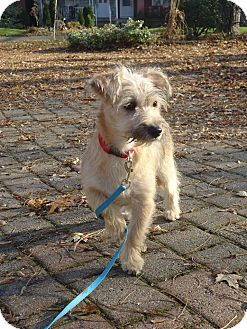 Border Terrier/Chinese Crested Mix Puppy for adoption in Toronto/Etobicoke/GTA, Ontario - Stella ADOPTED!!