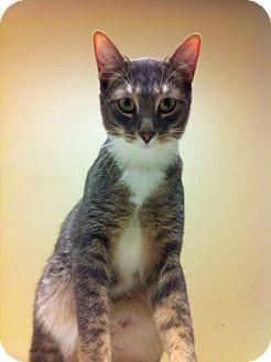 Domestic Shorthair Kitten for adoption in Pittstown, New Jersey - Alistar
