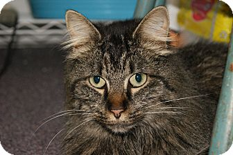 Maine Coon Cat for adoption in Memphis, Tennessee - Margie