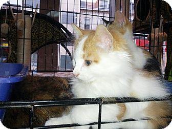 Domestic Shorthair Kitten for adoption in Toronto, Ontario - Murdoch