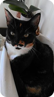 Domestic Shorthair Cat for adoption in Morgan Hill, California - Penny