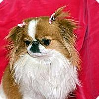 Adopt A Pet :: GiGi - Aurora, CO