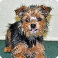 Adopt A Pet :: Gidget - Port Washington, NY