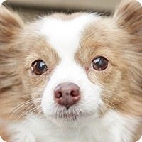 Adopt A Pet :: Princess (Bonded w/Baby Girl) - Romeoville, IL