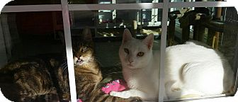 Domestic Shorthair Cat for adoption in Columbia, South Carolina - Sugar Pie Honey Bunch