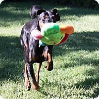Adopt A Pet :: SIMONE - Greensboro, NC