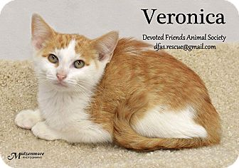 Domestic Shorthair Cat for adoption in Ortonville, Michigan - Vinnie