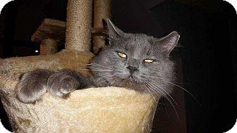 Domestic Mediumhair Cat for adoption in Belton, South Carolina - Augustus