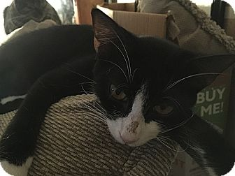Domestic Shorthair Cat for adoption in Tampa, Florida - Zaylee