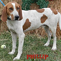 Adopt A Pet :: Phillip - Lawrenceburg, TN