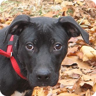 Boxer/Labrador Retriever Mix Puppy for adoption in Foster, Rhode Island - Buddy-Look at me please!